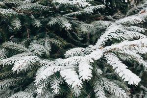 jour glacial de forêt d'hiver - aiguilles couvertes de neige blanche se bouchent photo