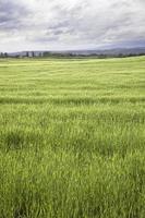 blé dans les montagnes photo