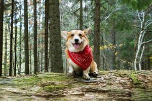 portrait de chien corgi drôle à l'extérieur dans la forêt photo