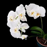 fleur d'orchidée phalaenopsis photo