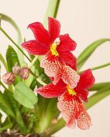 fleur d'orchidée rouge photo
