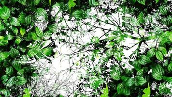 abstrait de feuille verte tropicale. silhouette à contraste élevé. photo