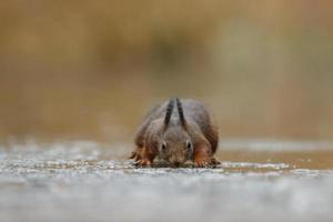 écureuil roux dans une forêt photo