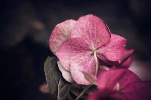 chrysanthèmes d'automne sur fond sombre. photo