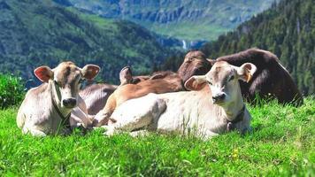 vaches de race brune alpine sur les alpes de bergamo en italie photo