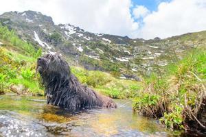 chien de berger bergamasco se baigne dans une mare d'eau photo