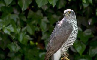 utilisation de la fauconnerie pour effrayer les oiseaux, à l'aérodrome de cuatro vientos à madrid photo