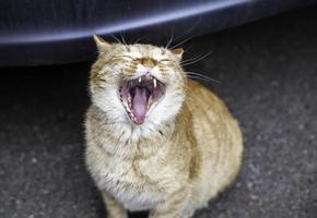 chat avec la bouche ouverte photo