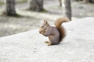 écureuil sauvage mangeant des noix photo