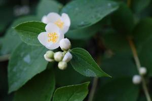 belles fleurs blanches de philadelphus avec des feuilles vertes photo