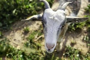 chèvre à cornes dans une ferme photo