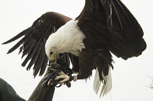 exposition de fauconnerie d'aigle photo