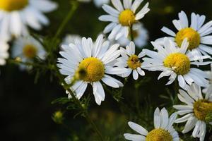 fleurs de camomille jaune en fleurs avec des pétales blancs dans un champ photo