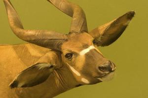 taxidermie de tête avec corne d'animaux photo