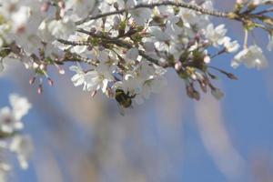 les premiers insectes pollinisent les premières fleurs du printemps à madrid, espagne photo