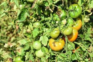 plant de tomate fraîche dans une ferme biologique photo