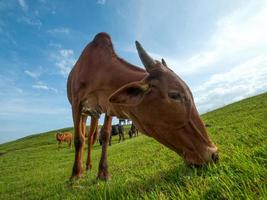 vaches paissant sur le terrain d'herbe luxuriante photo