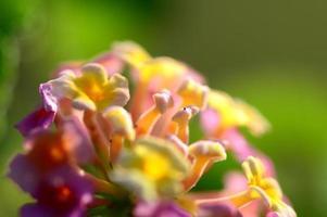fleurs de lantana multicolores. belle fleur de haie colorée, lantana pleureur, photo