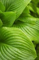 feuilles vertes avec des gouttes d'eau de pluie photo