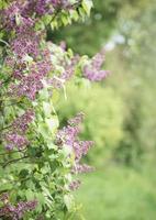 buissons de lilas devant un jardin verdoyant photo