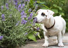 chien jack russel terrier blanc photo
