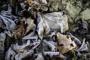 feuilles d'automne congelées photo