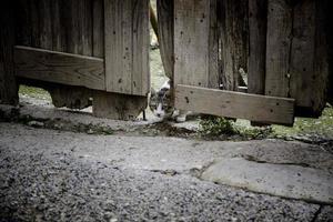 chat derrière une porte en bois photo