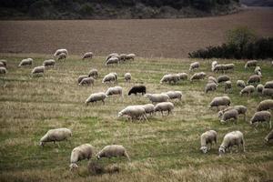moutons dans le champ photo