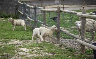 moutons dans ferme photo
