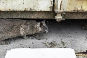 chat gris errant photo