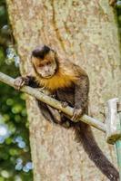 singes brésiliens en plein air photo