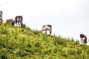 vaches et bœuf brésilien photo