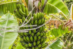 bananier brésilien photo