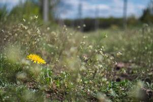 Fleur jaune de pissenlit libre sur champ vert photo