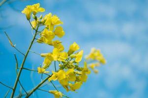 fleurs de colza ou de canola jaunes, cultivées pour l'huile de colza photo