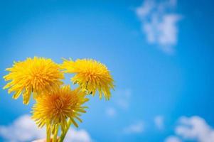 Fleur jaune de pissenlit libre avec ciel bleu sur fond photo