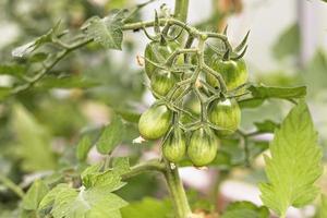 des tomates vertes non mûres sont accrochées à une branche de buisson dans une serre. concept de récolte et de jardinage photo