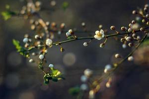 fleur de cerisier au printemps pour le fond ou copiez l'espace pour le texte. flou artistique photo