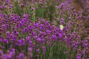 champ de lavande en provence, fleurs de lavande odorantes violettes en fleurs. lavande croissante se balançant sur le vent au-dessus du ciel coucher de soleil, photo