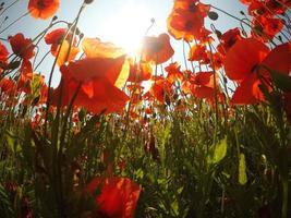 champ de fleurs de pavot de maïs rouge vif en été. photo