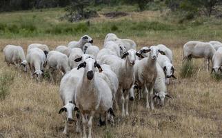 troupeau de moutons au portugal photo