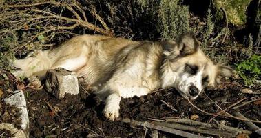 un chien se repose dans un jardin au portugal photo