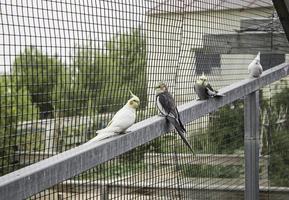 agapornis en grande cage photo