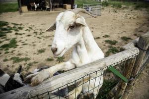 chèvres à la ferme photo