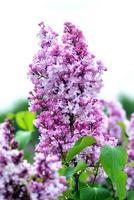 photographie abstraite en gros plan de mise au point sélective. le lilas fleurit dans le jardin. photo