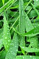 mise au point sélective. image. gros plan de feuillage vert frais avec des gouttes d'eau après la pluie - image photo