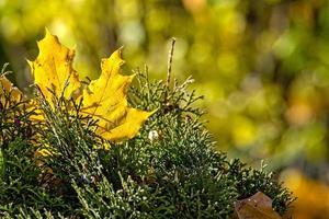 feuille d'érable colorée solitaire allongée sur une mousse. concept d'automne - image photo