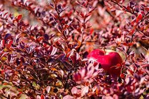 pomme rouge dans les branches de brousse. mise au point sélective. concept d'automne - image photo