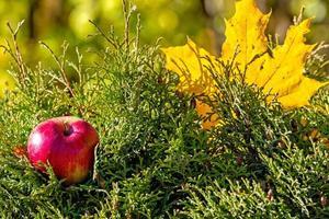 feuille d'érable colorée solitaire et pomme rouge allongée sur une mousse. concept d'automne - image photo
