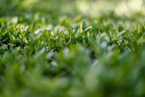 photographie en gros plan d'arbustes décoratifs. photo